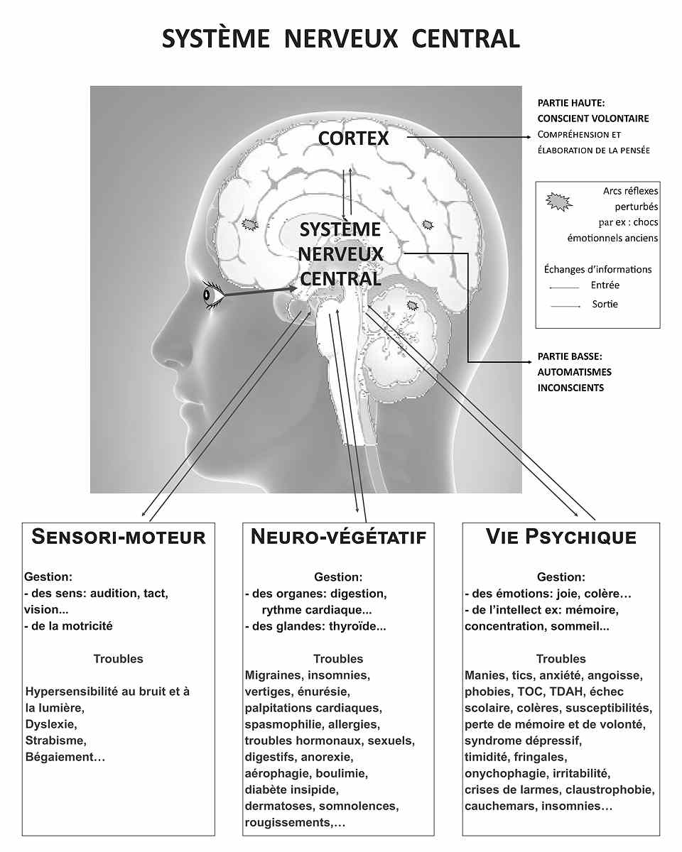 Cerveau - Système Nerveux Central