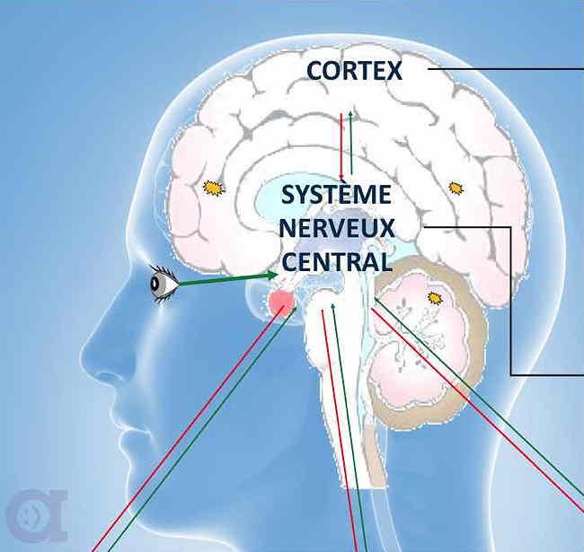 Le cerveau - Système Nerveux Central
